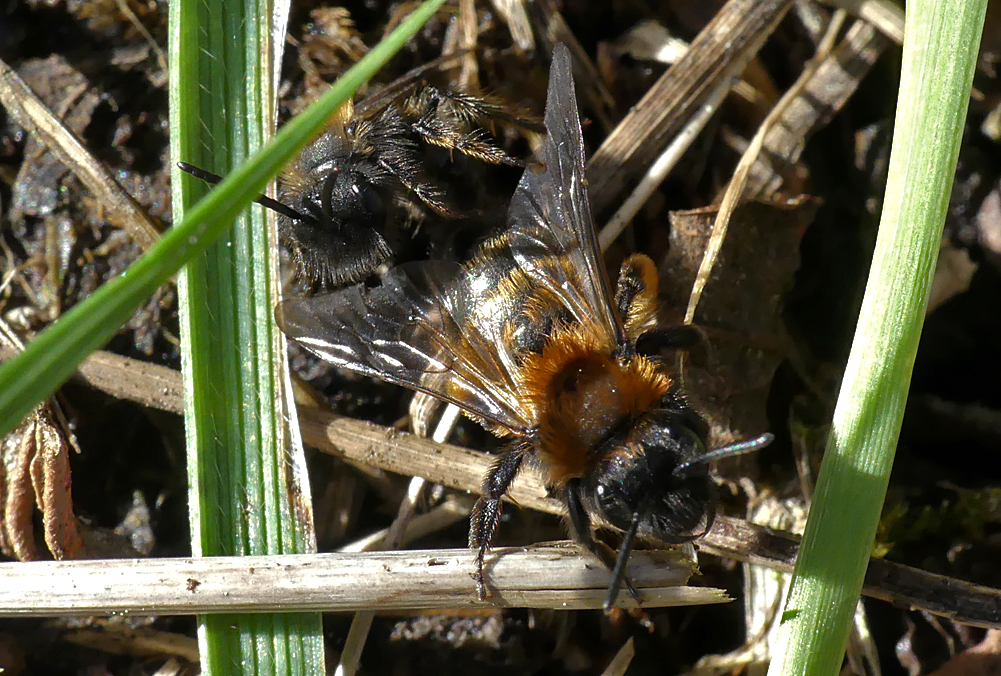 Andrena bicolor - Reservoir, 2 Mar 19 - male sneaking up behind a female - there was an active colony of these mining bees by the path-side