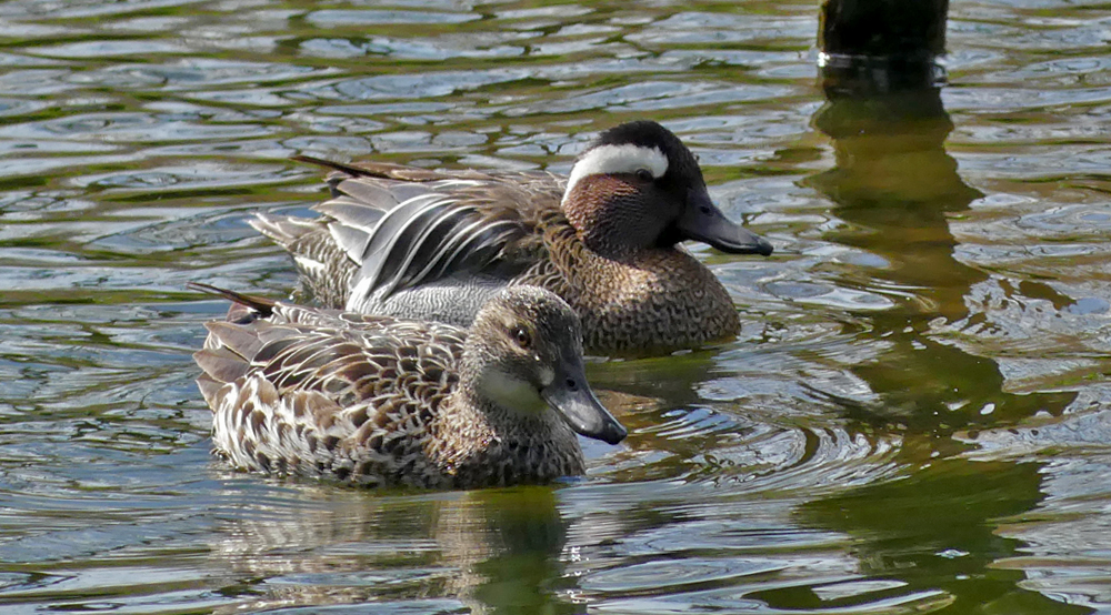 Male & female Garganey - Rue des Bergers, 3 Apr 19