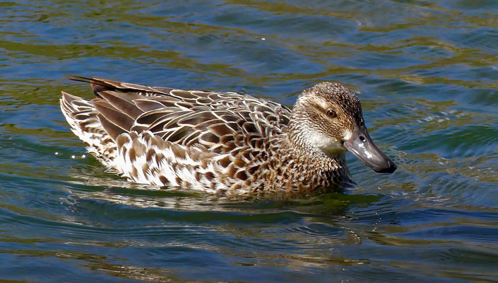 Female Garganey - Rue des Bergers, 3 Apr 19