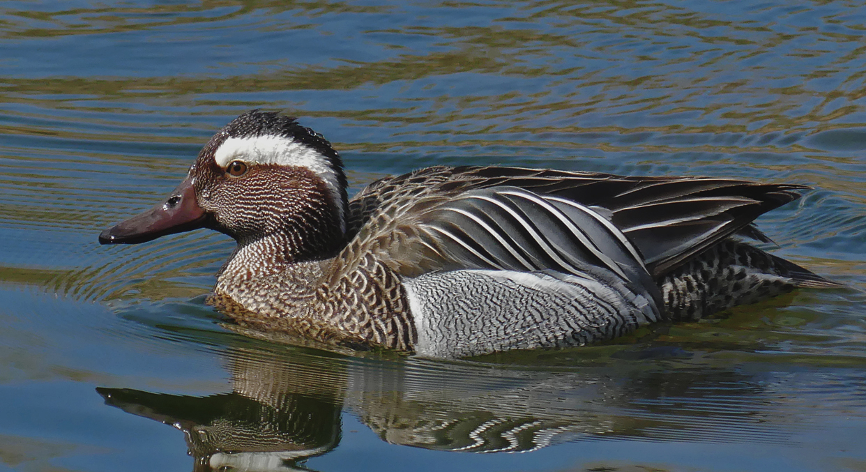 Male Garganey - Rue des Bergers, 3 Apr 19