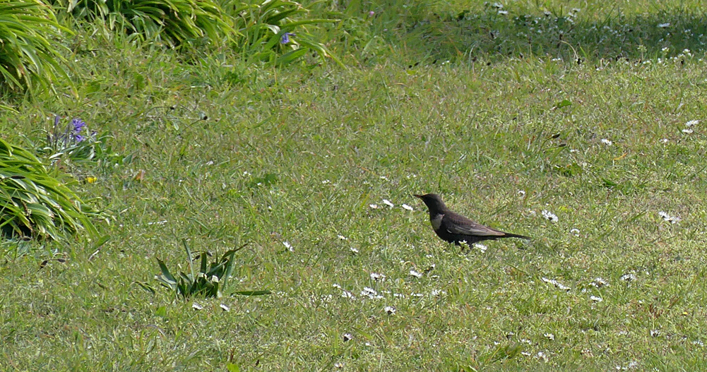 Ring Ouzel - L'Ancresse Driving Range, 6 Apr 19