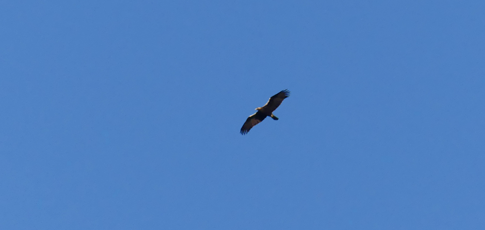 Spanish Imperial Eagle, Mirador del Tietar, Montfrague, 11 Apr 19
