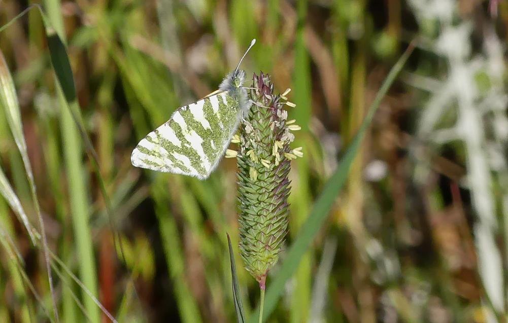 Green-striped White - SE of Santa Marta de Magasca, 12 Apr 19