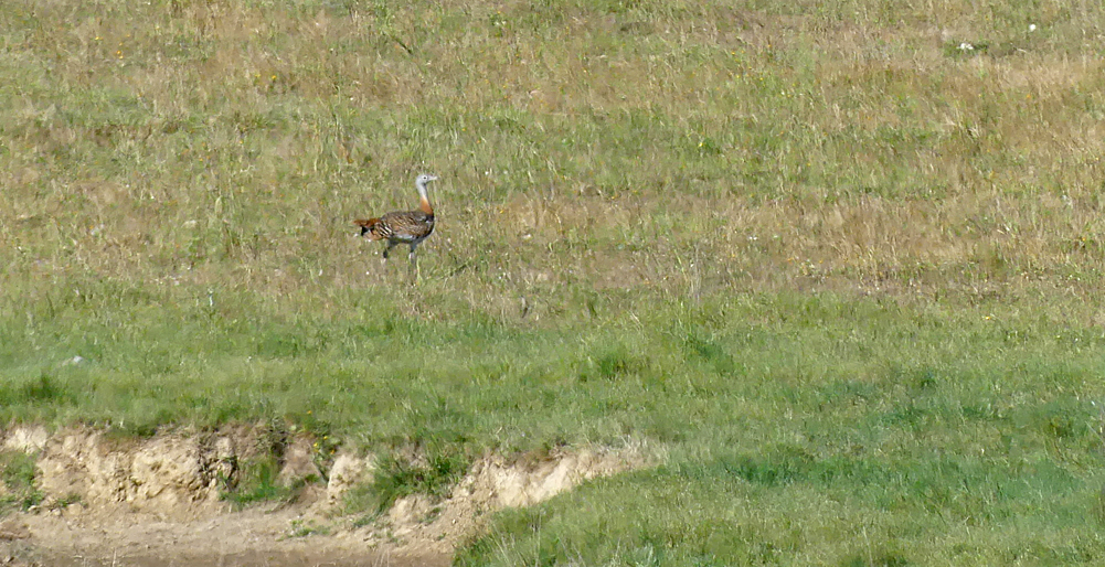 Great Bustard - SE of Santa Marta de Magasca, 12 Apr 19