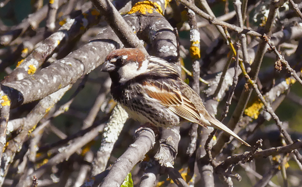 Spanish Sparrow - W of Santa Marta de Magasca, 12 Apr 19