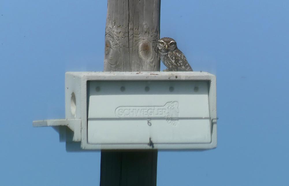 Little Owl - SW of Santa Marta de Magasca, 12 Apr 19