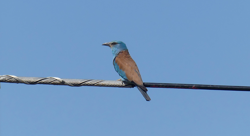 Roller - SW of Santa Marta de Magasca, 12 Apr 19