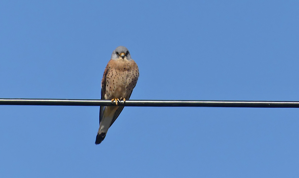 Lesser Kestrel - SW of Santa Marta de Magasca, 12 Apr 19