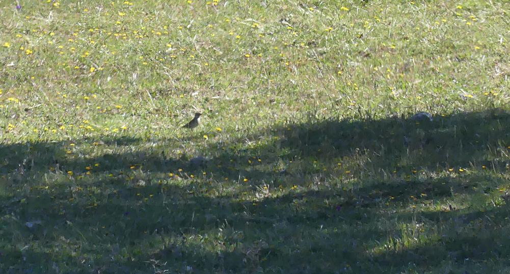 Rock Sparrow - W of Santa Marta de Magasca, 12 Apr 19