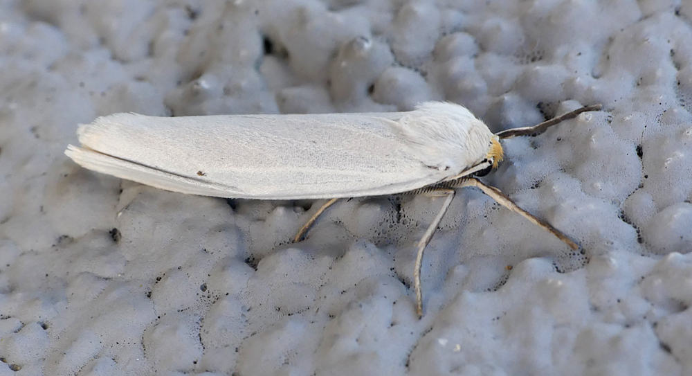 Speckled Footman - E of Cacares, 12 Apr 19