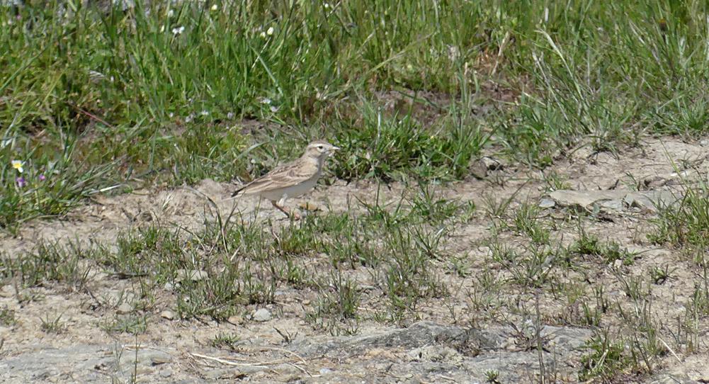 Short-toed Lark - Valdesalor Plains, 12 Apr 19