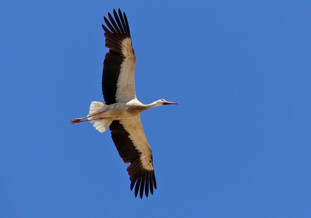White Stork - Valdesalor Plains, 12 Apr 19