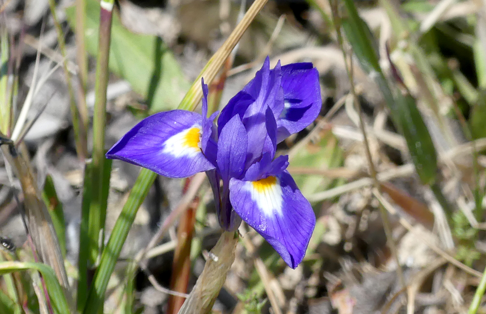 Barbary Nut Iris - Valdesalor Plains, 12 Apr 19