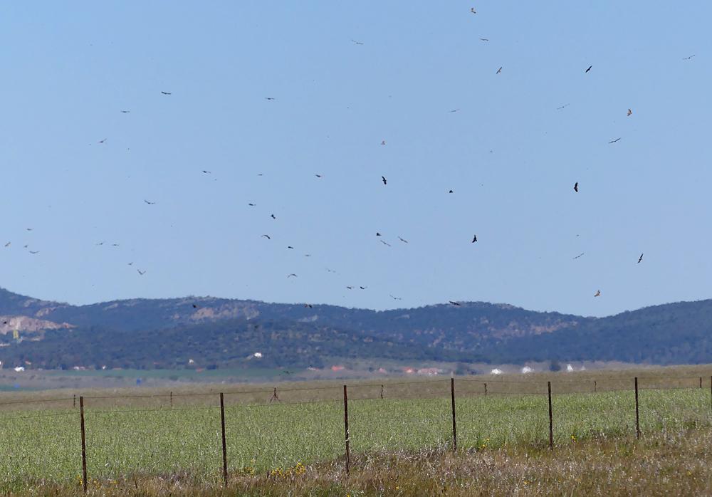 Griffon Vultures - Valdesalor Plains, 12 Apr 19