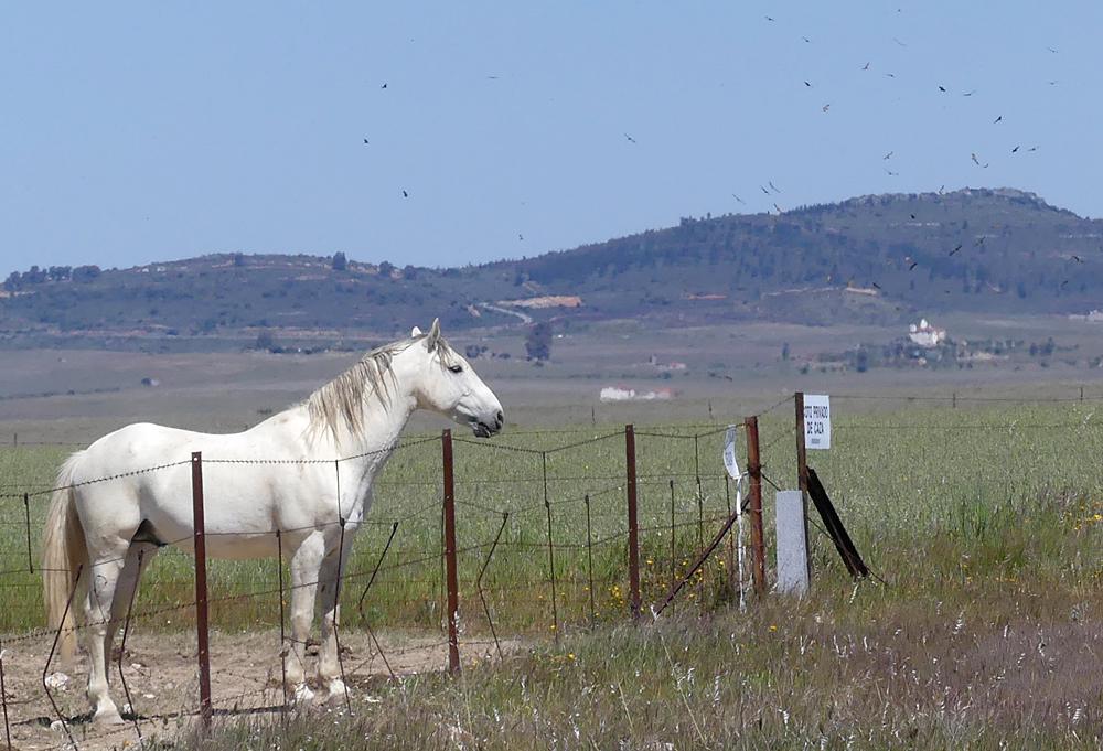 Griffon Vultures and horse - Valdesalor Plains, 12 Apr 19