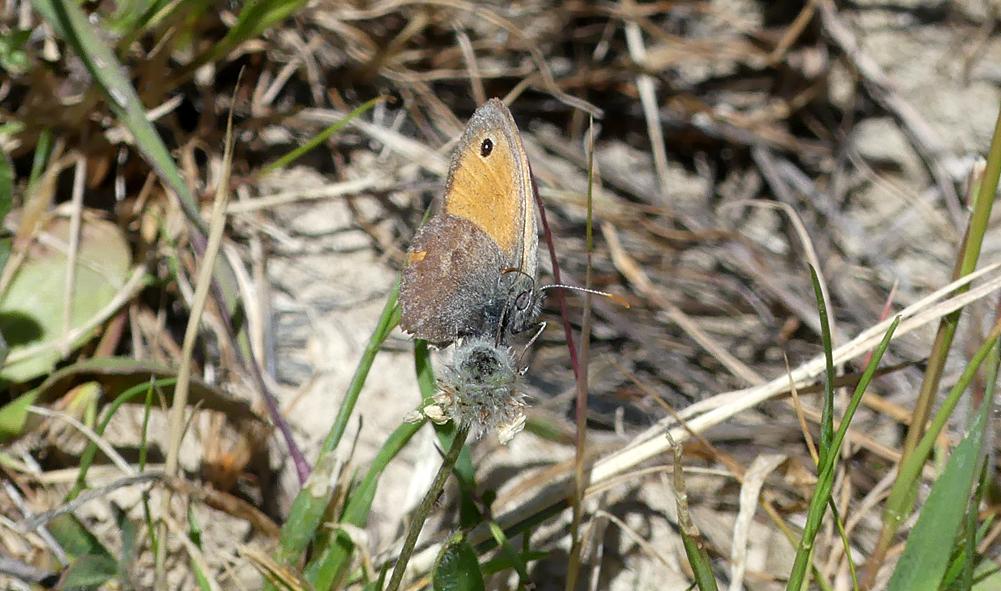 Small Heath - Valdesalor Plains, 12 Apr 19