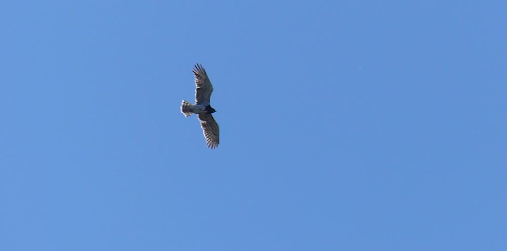 Short-toed Eagle - SW of Valdesalor Plains, 12 Apr 19