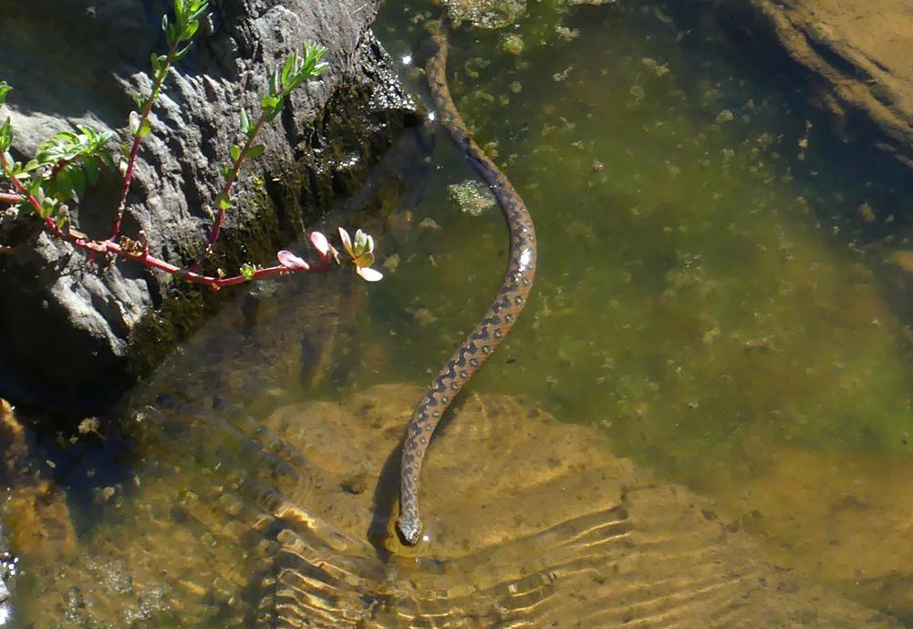 Viperine Snake - West of Santa Marta de Magasca, 12 Apr 19