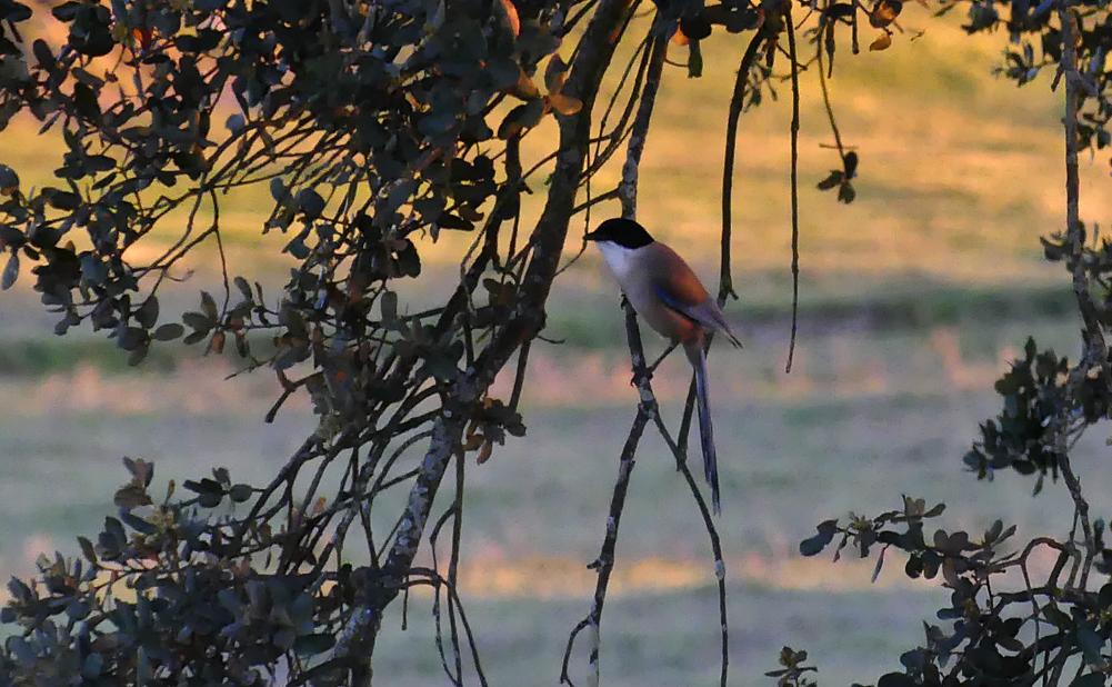 Azure-winged Magpie - nr Plasenzuela, 12 Apr 19