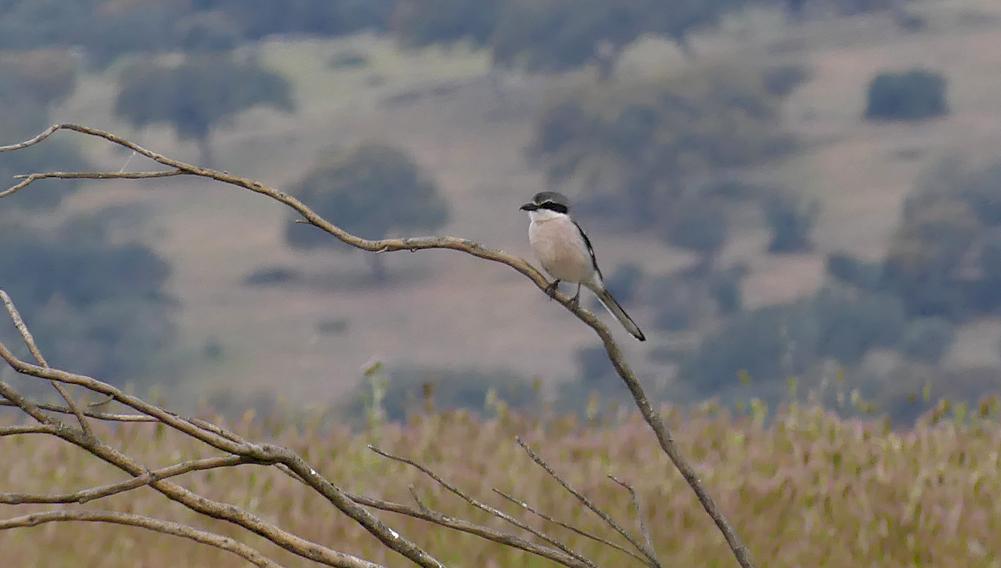 Iberian Grey Shrike - near Plasenzuela, 13 Apr 19