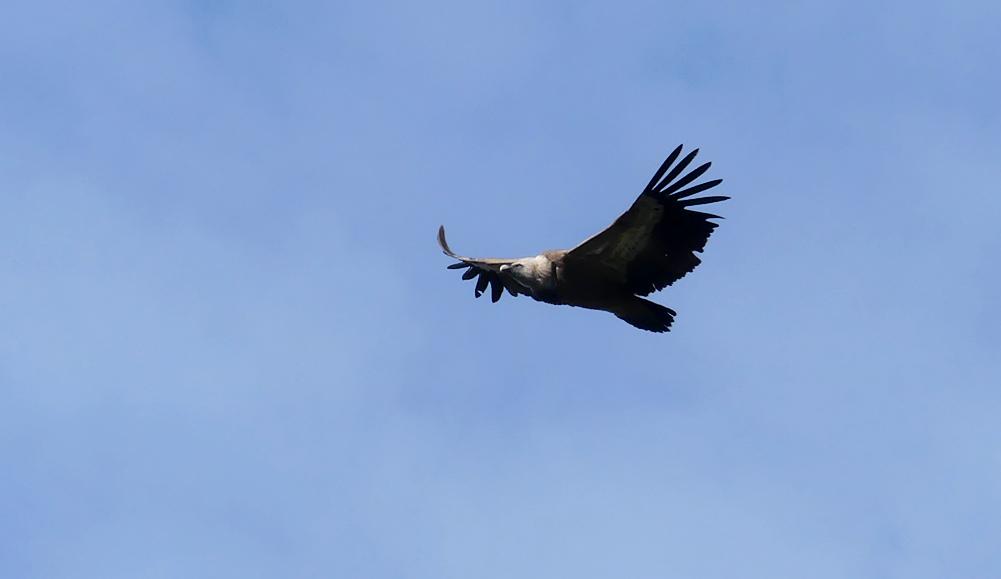 Griffon Vulture - Castillo de Montfrague, 13 Apr 19