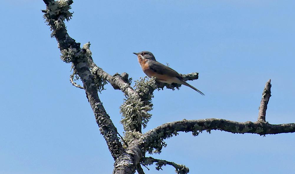 Subalpine Warbler - Castillo de Montfrague, 13 Apr 19