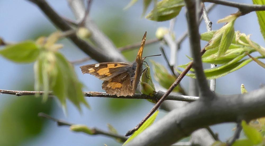 Nettle-tree Butterfly - Montfrague, 13 Apr 19