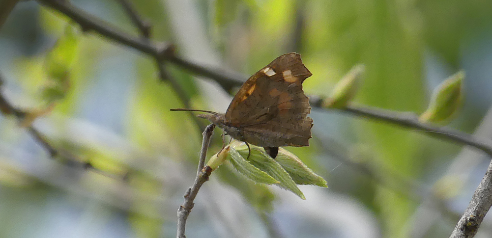 Nettle-tree Butterfly laying eggs - Montfrague, 13 Apr 19