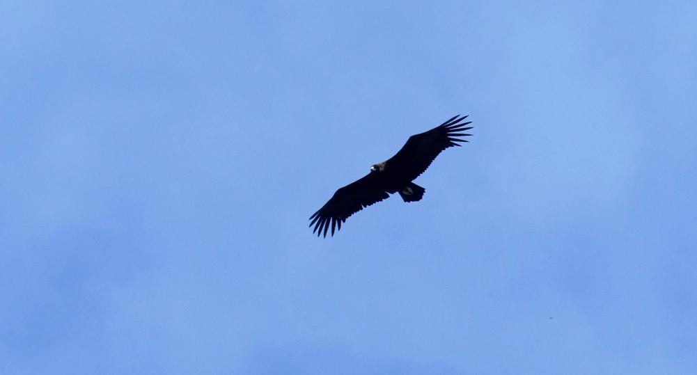 Black Vulture - Mirador La Tajadilla, 13 Apr 19