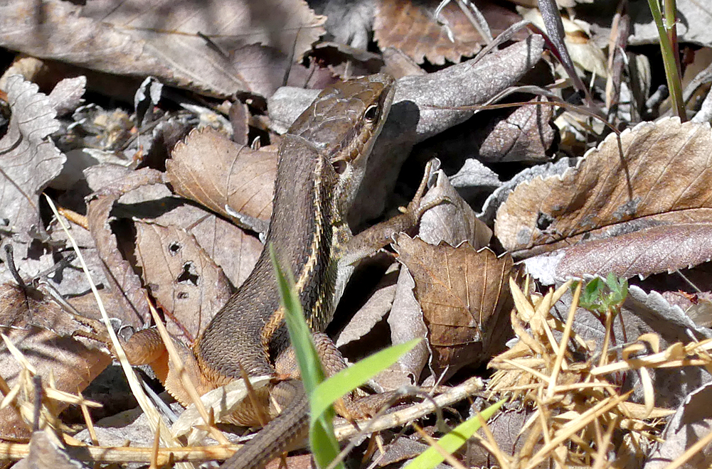 Large Psammodromus Lizard - Mirador La Bascula, 13 Apr 19