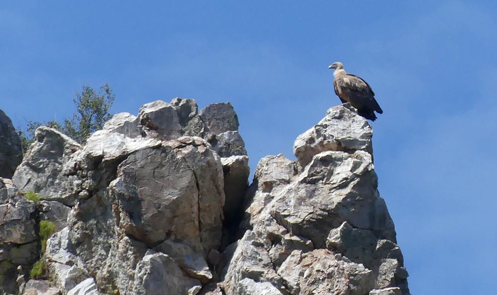 Griffon Vulture - Tietar, 13 Apr 19
