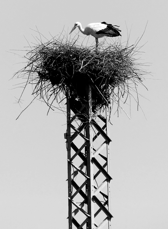 White Stork - Embalse de Arrocampo, 13 Apr 19