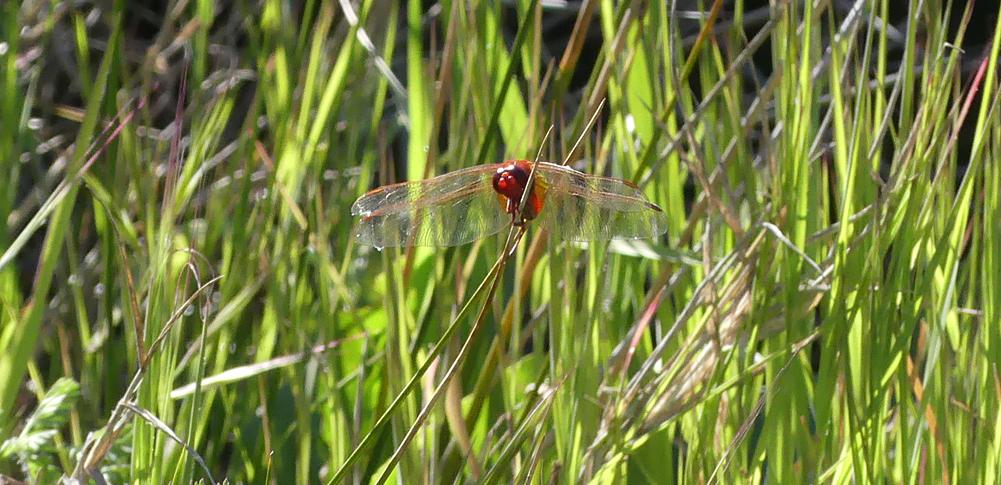 Scarlet Darter - Embalse de Arrocampo, 13 Apr 19