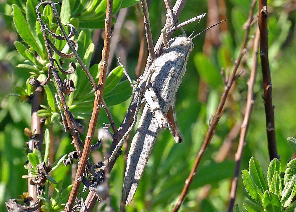 Egyptian Grasshopper - Embalse de Arrocampo, 13 Apr 19