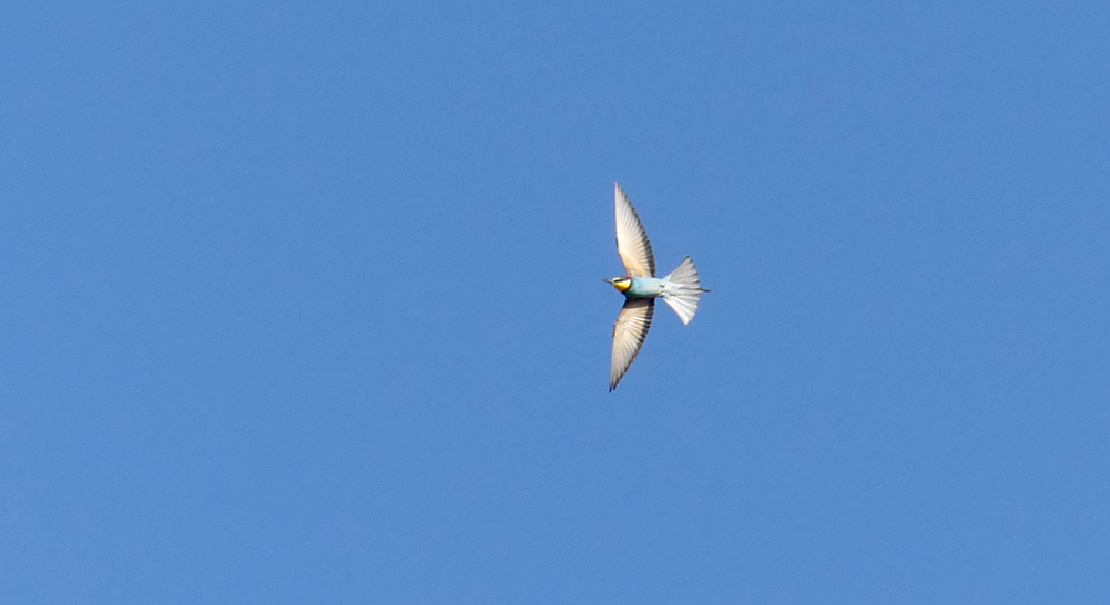 Bee-eater - nr Saucedilla, 13 Apr 19