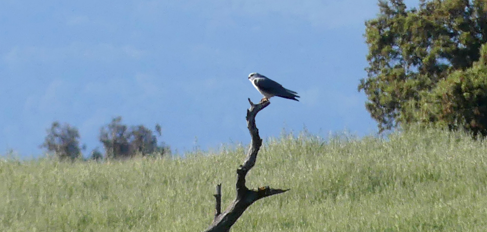 Black-winged Kite - Saucedilla, 13 Apr 19