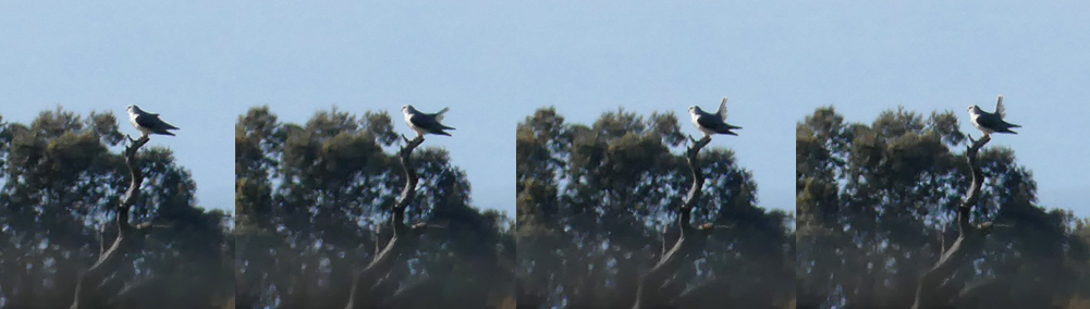 Black-winged Kite tail pumping - Saucedilla, 13 Apr 19