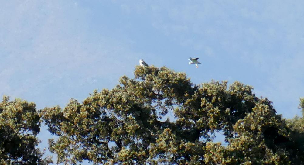 Black-winged Kites - Saucedilla, 13 Apr 19