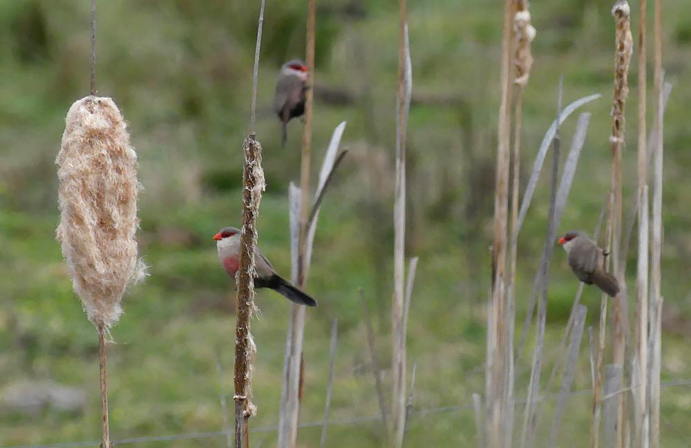 Common Waxbills - Galisteo, 14 Apr 19