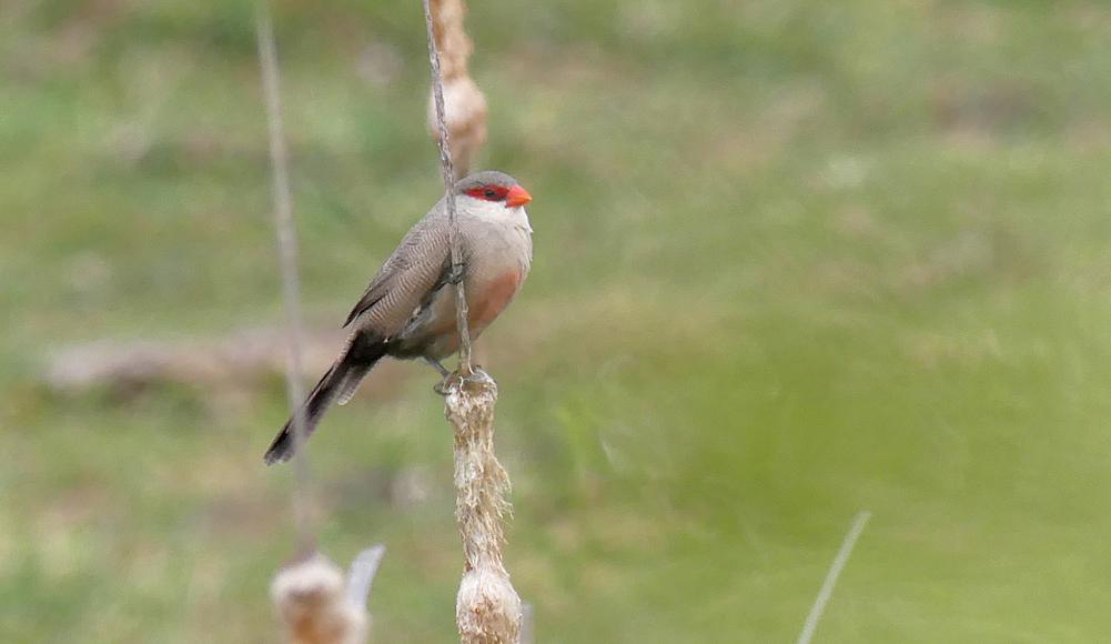 Common Waxbill - Galisteo, 14 Apr 19