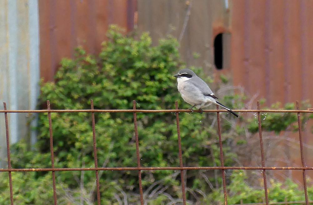 Iberian Grey Shrike - Galisteo, 14 Apr 19