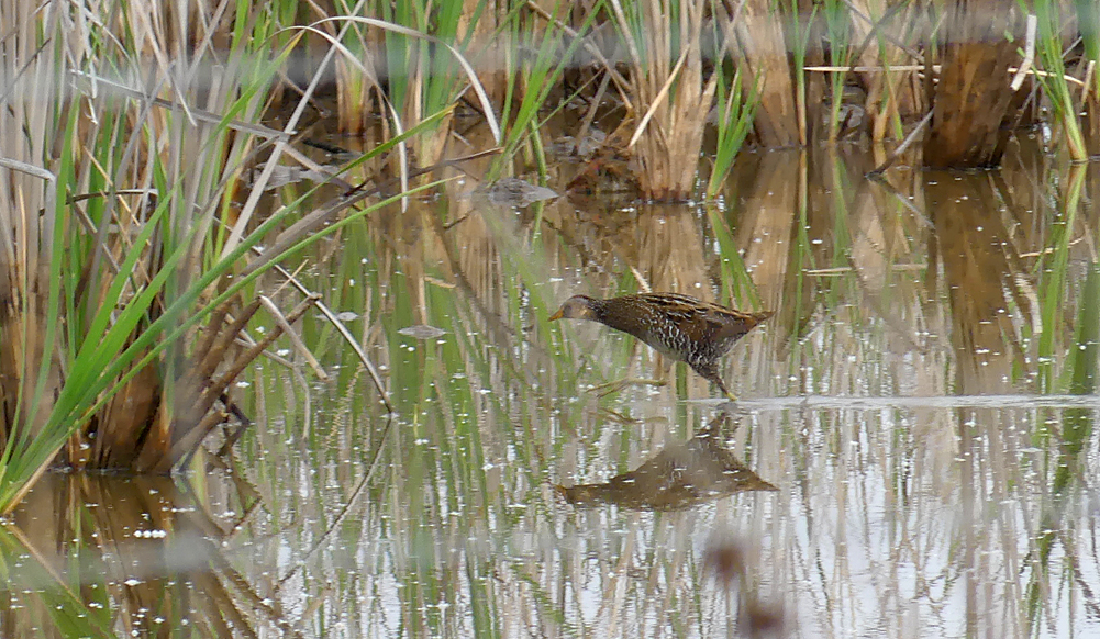 Spotted Crake - Galisteo, 14 Apr 19