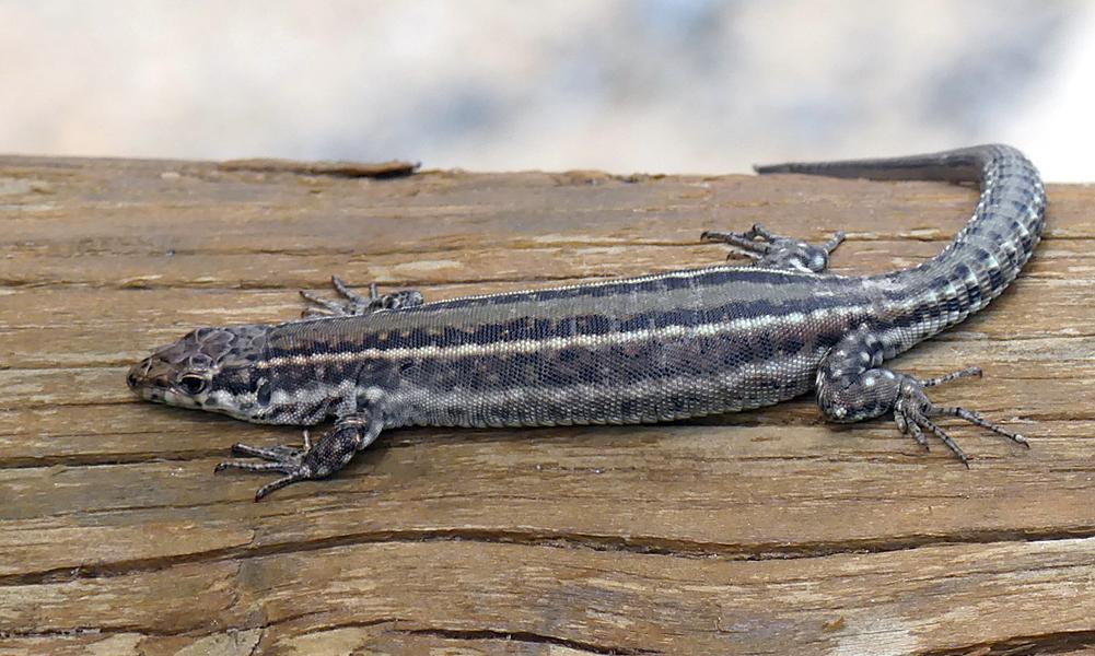 wall lizard sp. - Valle del Jerte, 14 Apr 19