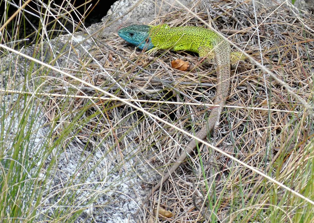 Schreiber's Green Lizard - Parador de Gredos, 14 Apr 19