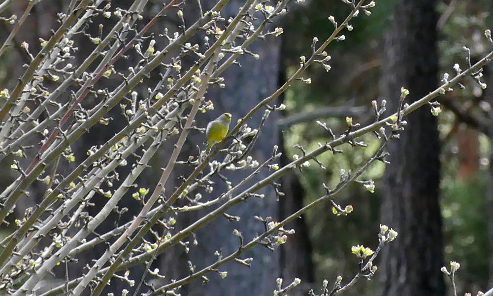 Citril Finch - Parador de Gredos, 14 Apr 19