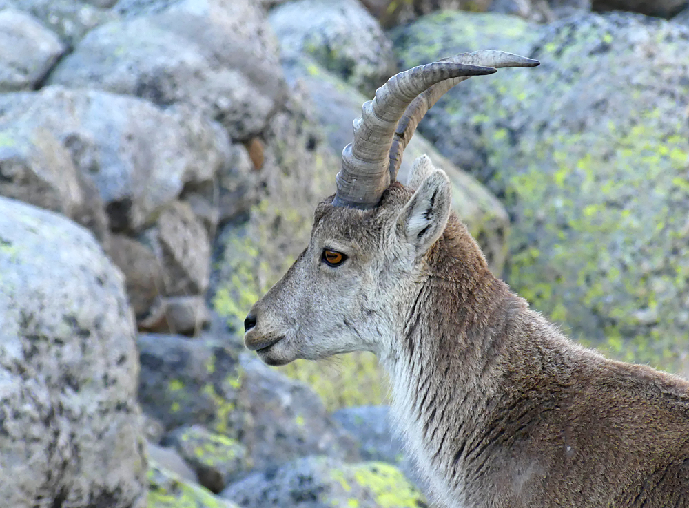 Spanish Ibex - Plataforma de Gredos, 14 Apr 19