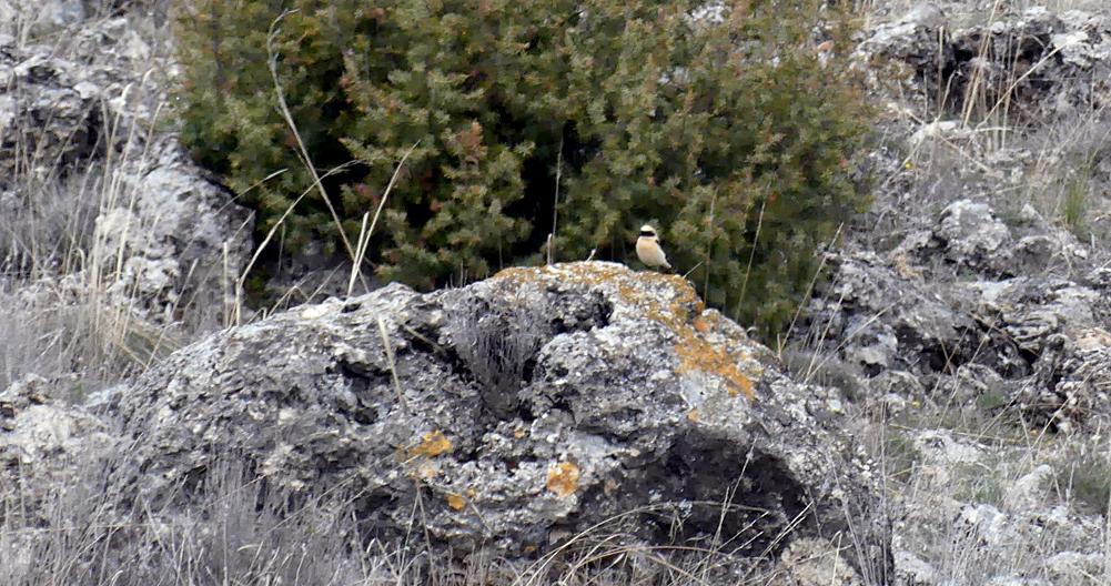 Black-eared Wheatear - Sepulveda, 15 Apr 19