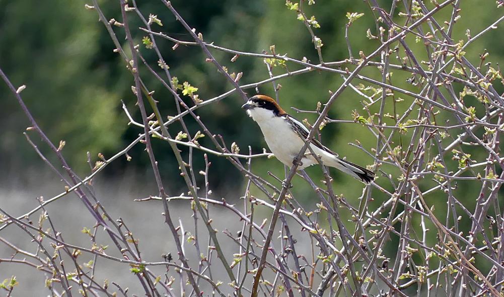 Woodchat Shrike - Sepulveda, 15 Apr 19