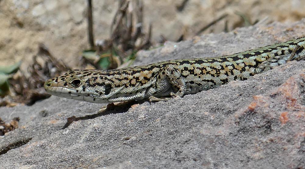 Wall lizard sp. - Hermitage de San Fructus, Sepulveda, 15 Apr 19