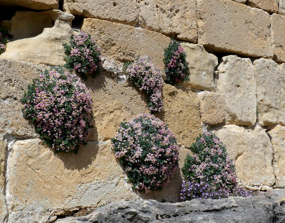 Sarcocapnos enneaphylla - Hermitage de San Fructus, Sepulveda, 15 Apr 19